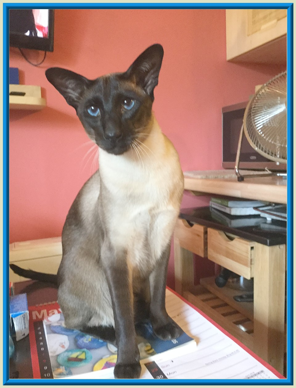 Rocheros Siamese Cat Breeder based in Cornwall UK We have owned