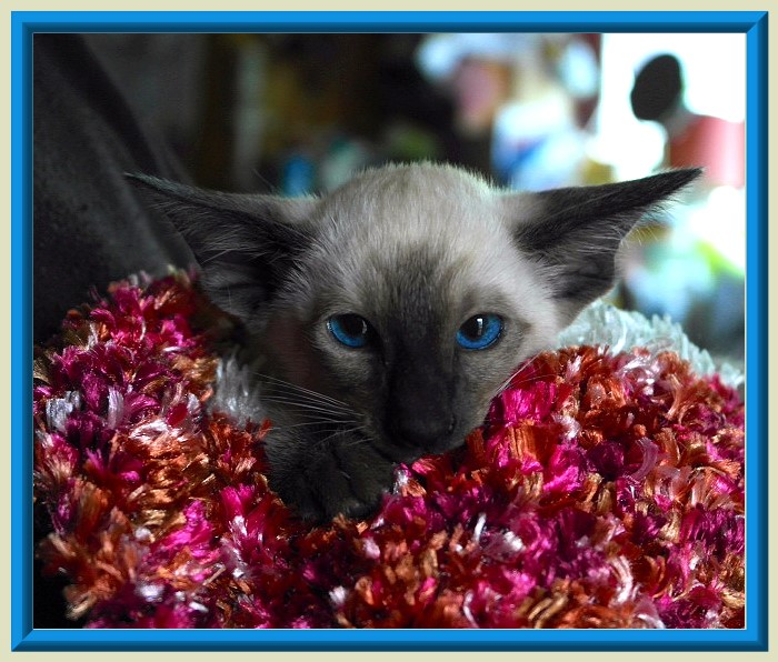 Rocheros Siamese Cat Breeder based in Cornwall, UK - We have owned and breed Siamese Cats for over 35 years. We sometimes have siamese kittens for sale to loving permanent pet homes.- http://www.rocheros.co.uk